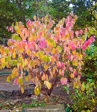 Siberian dogwood (Cornus alba Sibirica) in autumn